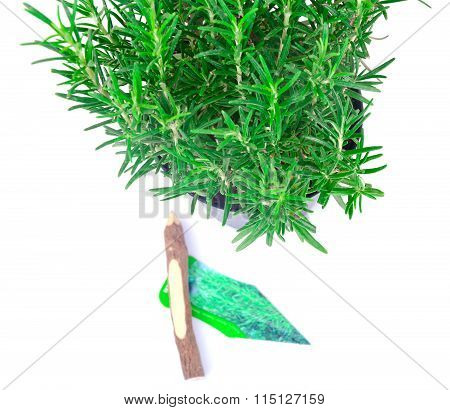 Fresh Tarragon Spice Isolated on White.