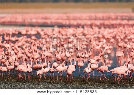 Beautiful Lesser Flamingos