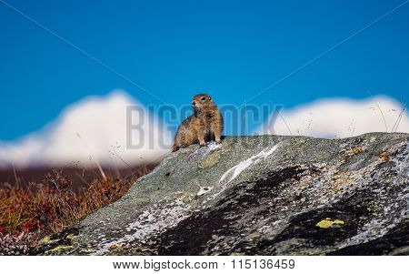 Arctic ground squirrel in the Alaska Range