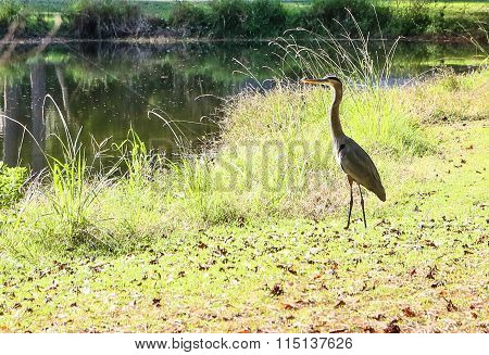 The Gray Heron Surveys His Pond