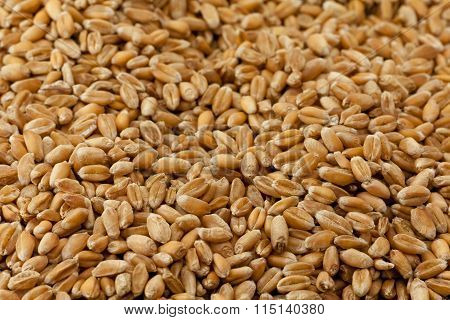 wheat  close up.