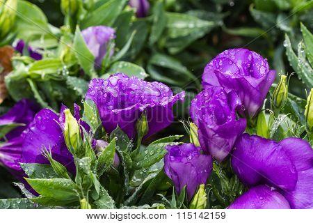 Purple  Lisanthus Flowers On Nature Background