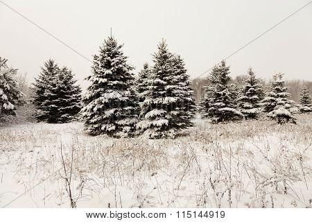 Spruce winter . close-up