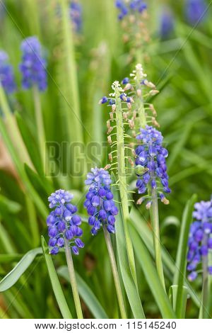 Blue Grape Hyacinths Flower On Nature Background
