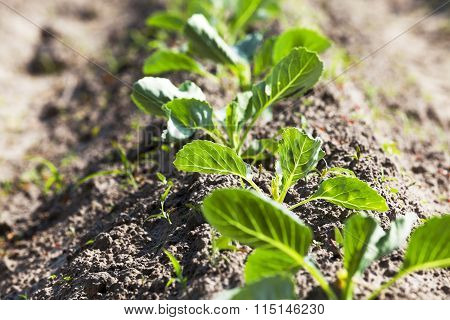 sprout cabbage .  field.