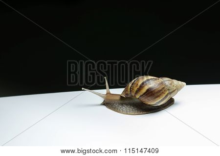 Slow Life Of Snail.