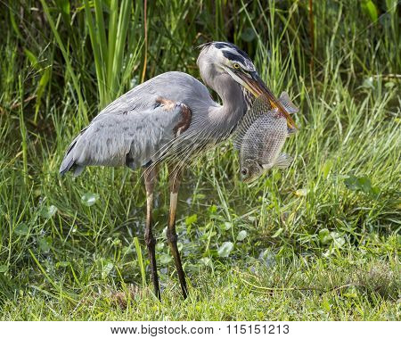 Great Blue Heron Eating a Tilapia