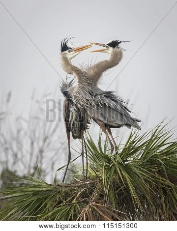 Pair Of Great Blue Herons Displaying Courtship Behaviour - Florida