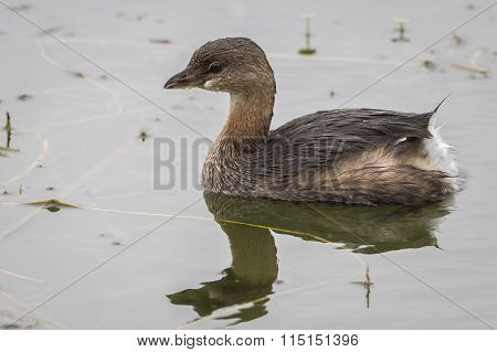 Pied-billed Grebe Swimming In A Florida Pond