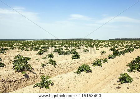 cultivation of potatoes. field