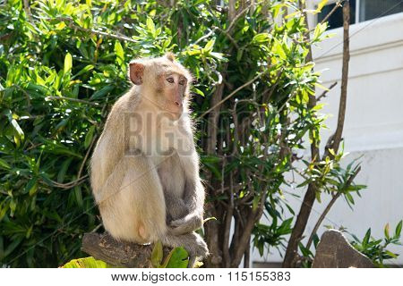 Monkey , Crab-eating Macaque