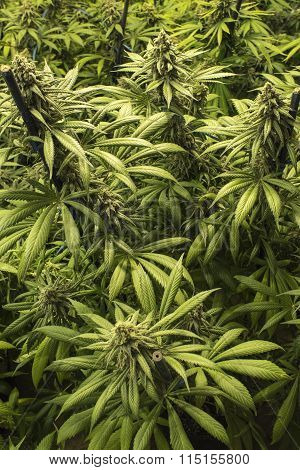 Marijuana Buds with Leaves on Top of Mature Indoor Plants