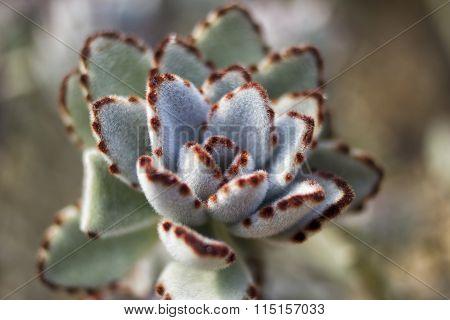 White Panda Plant Kalanchoe Tomentosa,