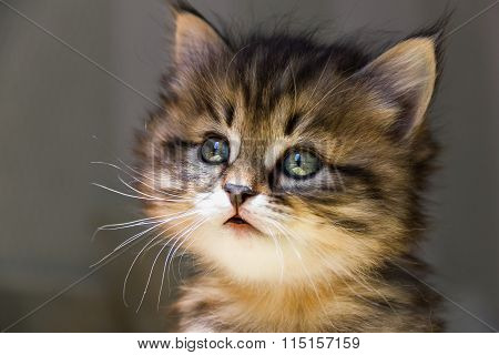 Portrait of little tabby kitten