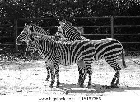 Black And White Zebra In Zoo