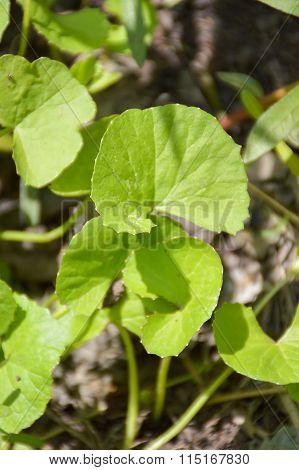 green centella asiatica tree