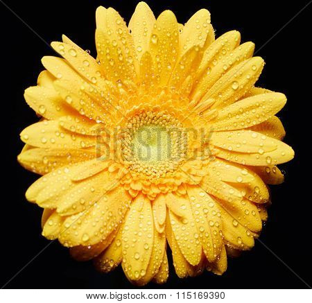 Herbera flower