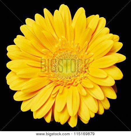 Yellow herbera