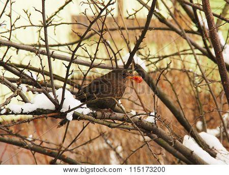 blackbird eating a cherry