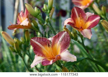 Beautiful day lily.