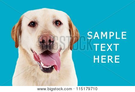 Cute labrador on blue background