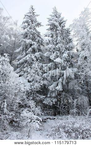 Trees under snow.