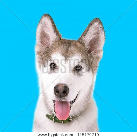 Portrait of Malamute puppy on blue background