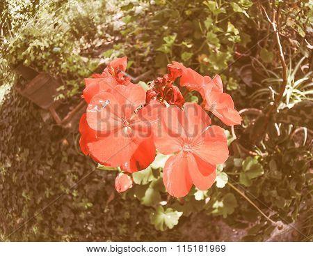 Retro Looking Red Geranium Flower