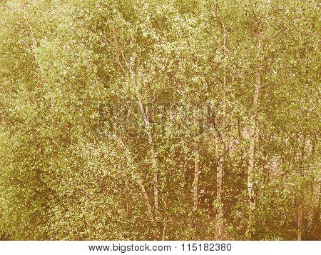 Retro Looking Birch Tree