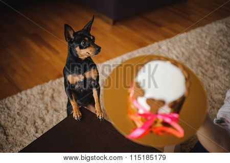 Toy Terirer  Looking At Birthday Cake Focus On Dog