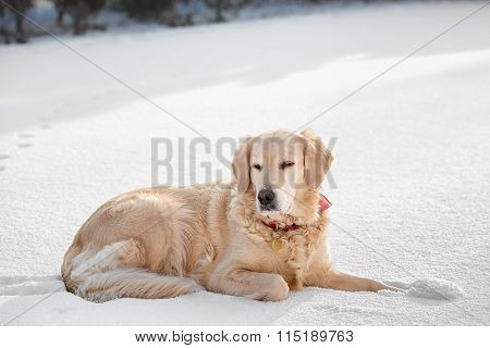Dogs (Golden Retriever) lying in the snow in winter