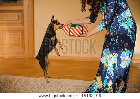Toy Terrier Jumping To Reach Present Box In Woman Hands