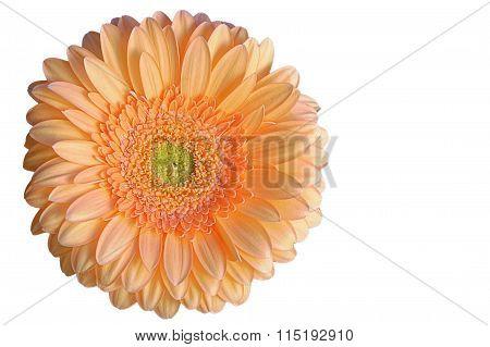 Single Orange Gerbra Flower
