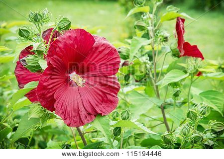 Big Red Hibiscus Flower, Macro Natural Photo