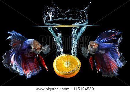 Droping Fruit And Saimese Fighting Fish