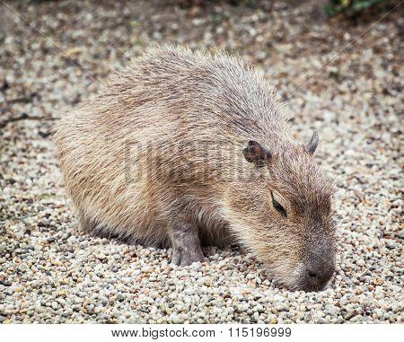 Capybara (hydrochoerus Hydrochaeris), Animal Scene