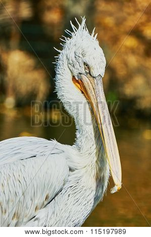 Beautiful Pelican In Zoo