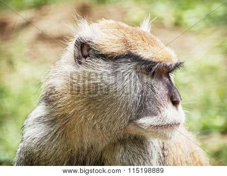 Close Up Portrait Of Patas Monkey (erythrocebus Patas), Animal Scene