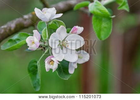 Apple Tree Blossom Close-up