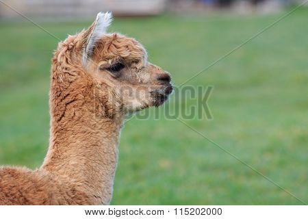 Close Up Head Shot Of Brown Alpaca In Green Field