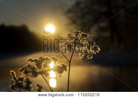 Plant With Ice Crystals In Evening Sun
