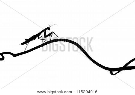 The Silhouette Of A Graceful Praying Mantis On  Slender Twig. Isolate On White