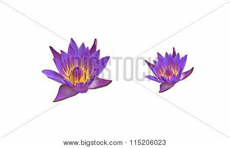 Purple lotus flower on white background, isolate