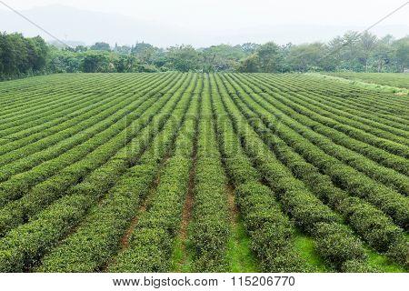 Tea field in Taiwan