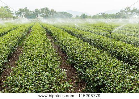 Tea plantation in Taiwan luye