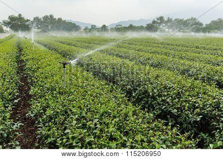 Tea farm in TaiTung luye