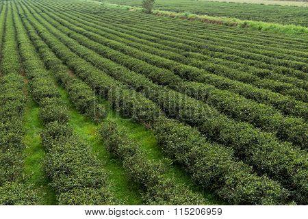 Tea field in luye