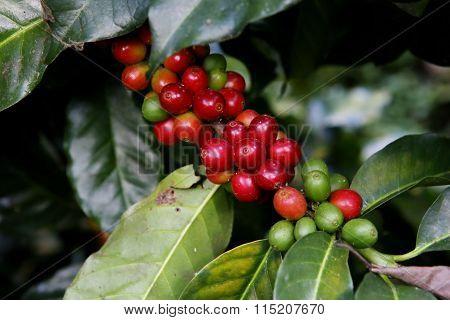 Coffee Seed