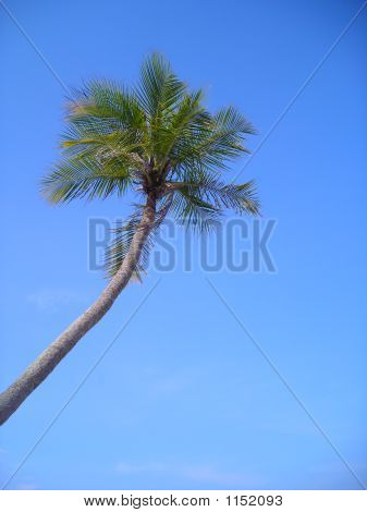 Single Coconut Palm Against Blue Sky With Copyspace
