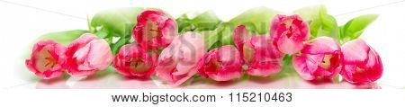 Horizontal panorama with pink  tulips on white background.